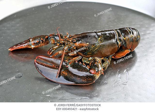 Atlantic lobster alive and whole in a paella pan, Bogavante del Atlántico vivo y entero en una paellera