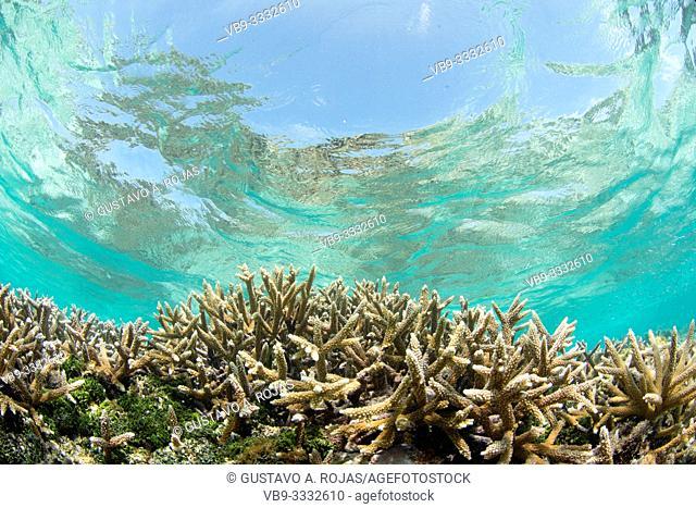 Acropora cervicornis, Acropora - los roques venezuela snorkel
