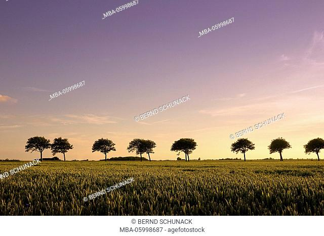A grain field shines in the warm evening light; behind it an avenue, the trees as silhouettes