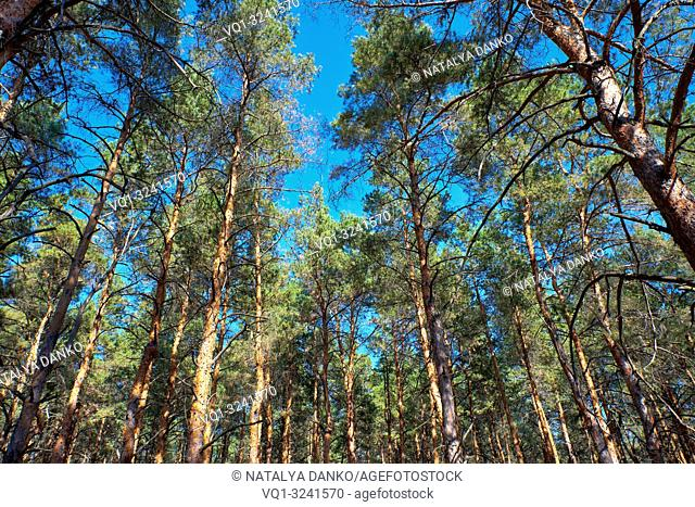 tall pines and their crowns against the blue sky, bottom view