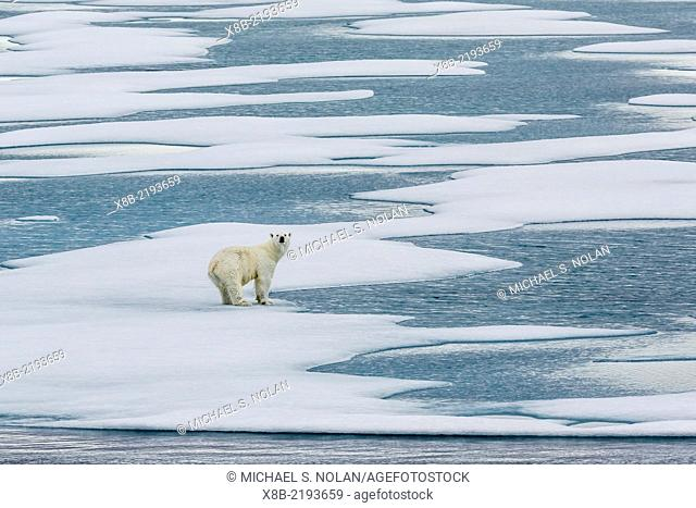A curious polar bear, Ursus maritimus, on fast ice in Icy Arm, Baffin Island, Nunavut, Canada