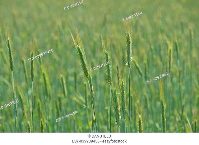 Vast fields of healthy green wheat crops ripening