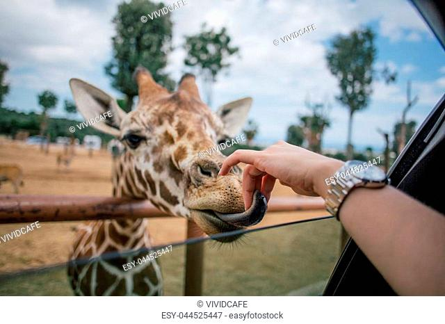 Giraffe in safari animal, wildlife, nature, african wild mammal