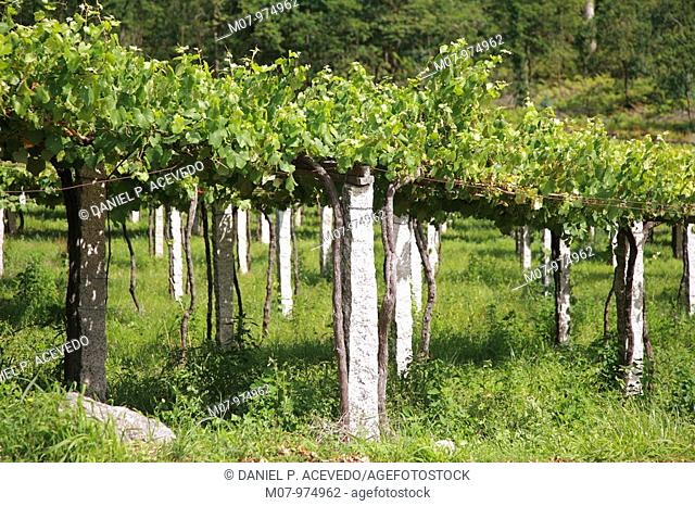 Meaño vines in Rias Bajas in Galicia. Spain, Eurpe