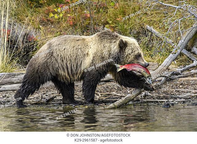 Grizzly bear (Ursus arctos)- Walking river shoreline with sockeye salmon prey in jaws, Chilcotin Wilderness, BC Interior, Canada