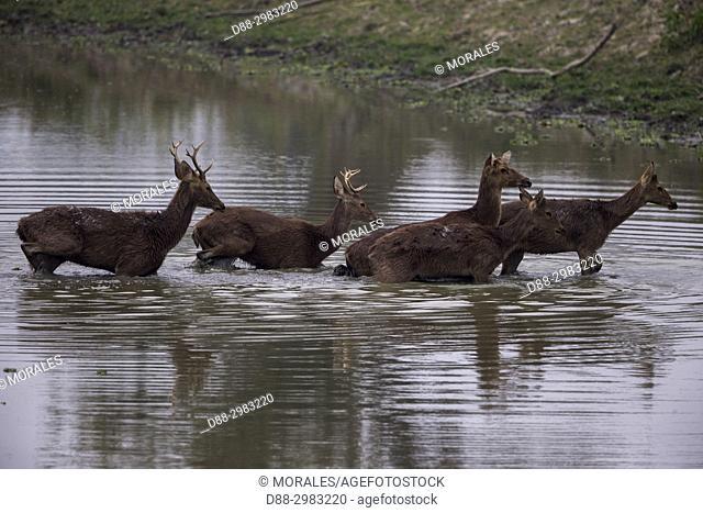 India, State of Assam, Kaziranga National Park, Swamp deer (Cervus duvaucelii ranjitsinghii ou Rucervus duvaucelii ranjitsinghii)