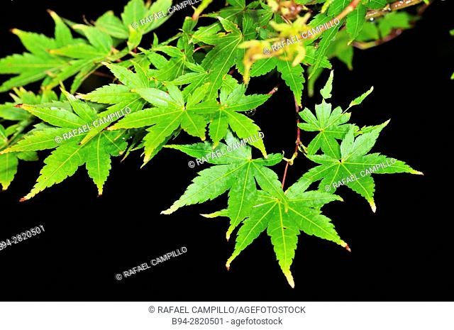 Acer palmatum, Palmate maple, Japanese maple, Smooth japanese maple, leaves, genus of trees or shrubs commonly known as maple, Fam. Sapindaceae