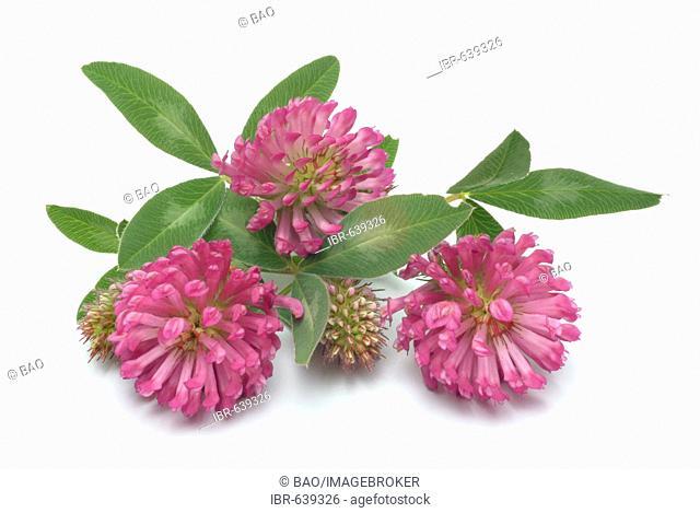 Red Clovers (Trifolium pratense), medicinal plant
