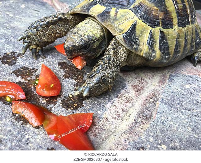 Tortoise Eating a Tomato. .