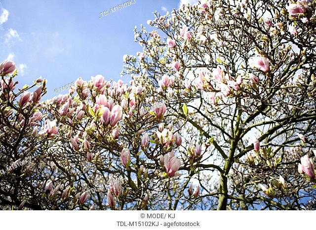 A magnolia tree in flower
