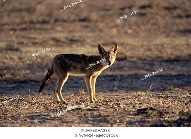 Black-backed jackal Canis mesomelas, Kgalagadi Transfrontier Park, South Africa, Africa