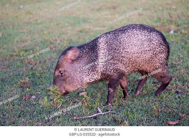 Animal, Pig-pity-bush, Pantanal, Mato Grosso do Sul, Brazil