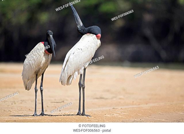 South America, Brasilia, Mato Grosso do Sul, Pantanal, Jabiru storks, Jabiru mycteria