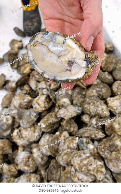 Annapolis, Maryland, last day of oyster season aboard the Skipjack Helen Virginia