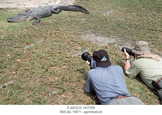 Photographers and American Alligator Everglades national park Florida USA Alligator mississippiensis