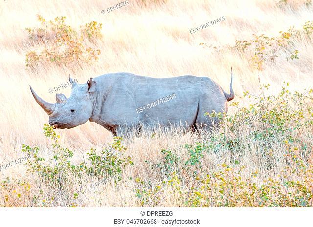 Endangered black rhino, Diceros bicornis, between grass