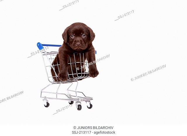 Labrador Retriever. Brown puppy (6 weeks old) in a small shopping cart. Studio picture against a white background. Germany