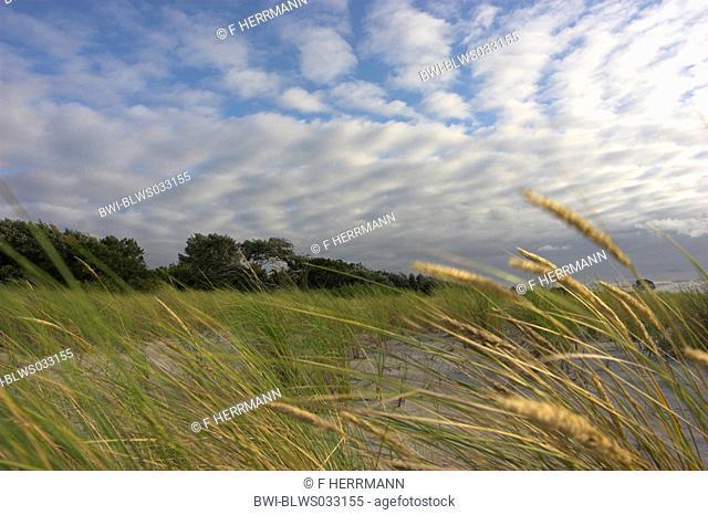 blue lyme grass Elymus arenarius, Lymus arenarius, Beach Grass on dune