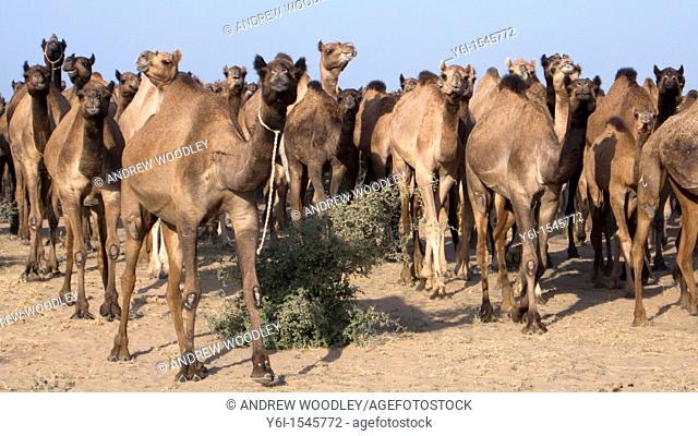 Camel herd Jodhpur Rajasthan India