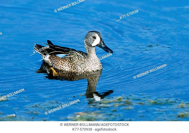 Blue winged Teal (Anas discors). Everglades NP. Florida. USA
