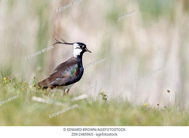 Lapwing (Vanellus vanellus) Berkshire, England, UK