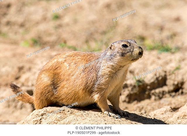 Black-tailed prairie dog (Cynomys ludovicianus), native to North America