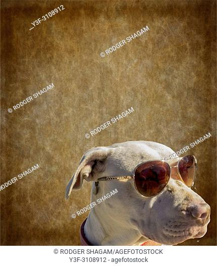 Albino Pitbull wears sunglasses to protect it's over-sensitive eyes from bright sunlight. South Africa