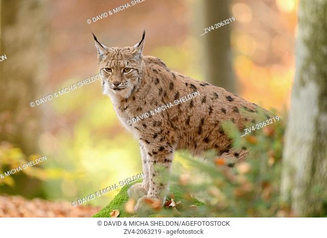 Close-up of an Eurasian lynx (Lynx lynx) in autumn in the bavarian forest