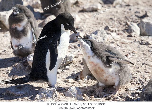 Antarctica. Adelie penguins (Pygoscelis adeliae) on the rocky beach of Brown Bluff. A chick of Adélie penguin stimulates its parent to regurgitate what he has...