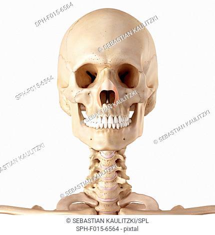 Human facial muscles, illustration