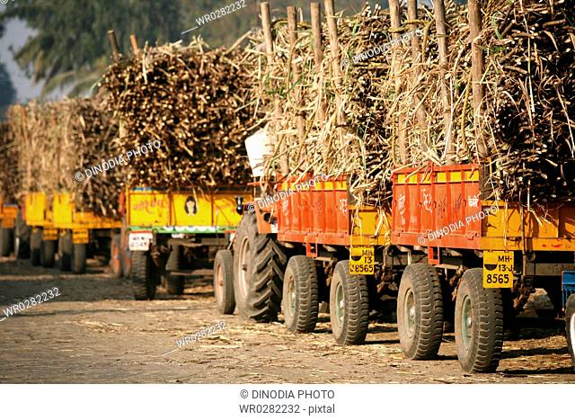 Loads of sugarcane in trolleys pulled by tractors parked in queue at Sugar factory in Sangli , Maharashtra , India