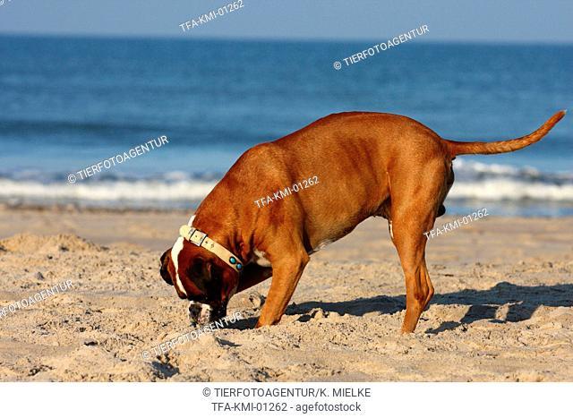 digging Boxer