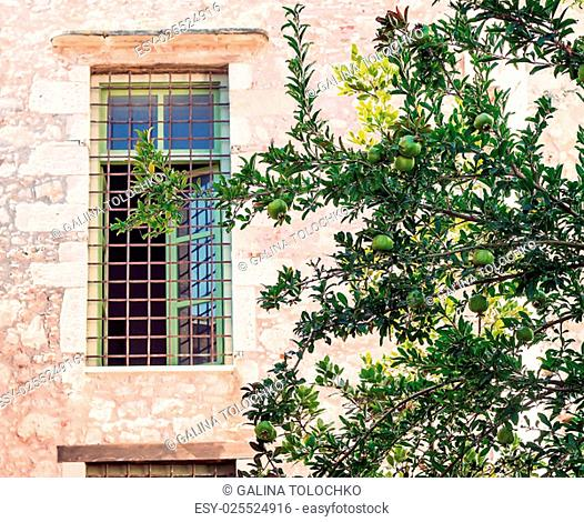 Green pomegranate tree with ripening pomegranate fruit grows in front of the window the old stone house