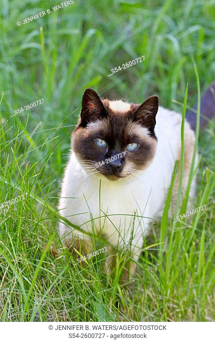 A Siamese cat outdoors in tall grass