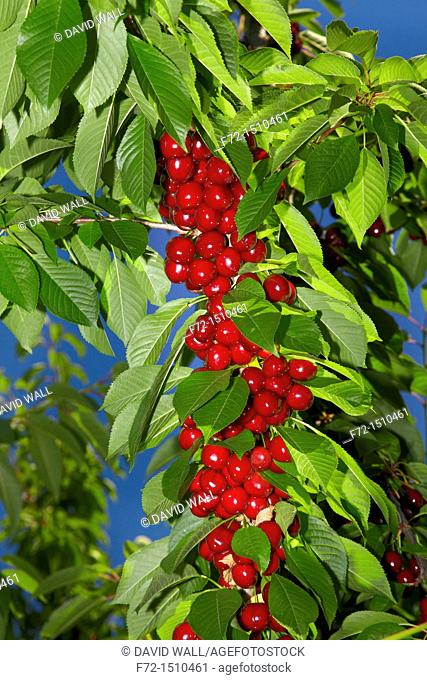 Closeup of red cherries on the vine in a Cherry Orchard