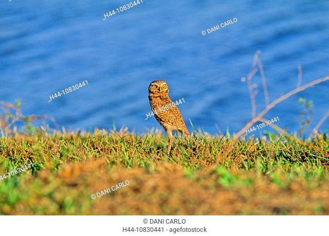 Venezuela, South America, Burrowing Owl, Speotyto Cunicularia, Civetta Delle Tane, Los Llanos, South America