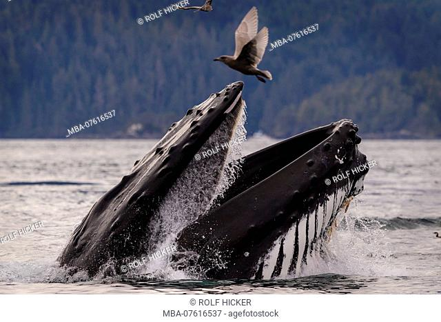 Humpback whale lunge feeding on a calm fall day in the Broughton Archipelago, Great Bear Rainforest, First Nations Territory, British Columbia, Canada