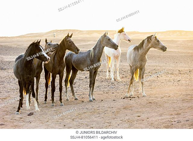 Arabian Horse. Herd of juvenile mares standing in the desert in evening light. Egypt