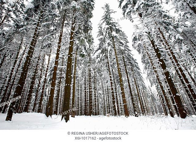 Snow and ice covered Norway Spruce trees, Picea abies, in Harz mountains National Park, , Lower Saxony, Germany
