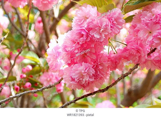 cherry blossoms in Sanbangsan