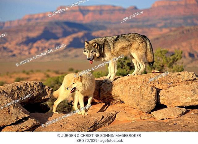 Wolves (Canis lupus), adult, Monument Valley, Utah, United States