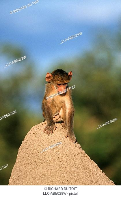 Portrait of a Chacma Baboon Papio ursinus Sitting on an Ant Heap  Chobe National Park, Botswana