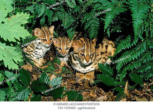 LEOPARD CAT prionailurus bengalensis, FEMALE WITH CUB