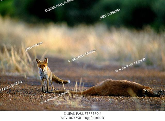 Fox - about to feed on road killed Red Kangaroo (Vulpes vulpes)