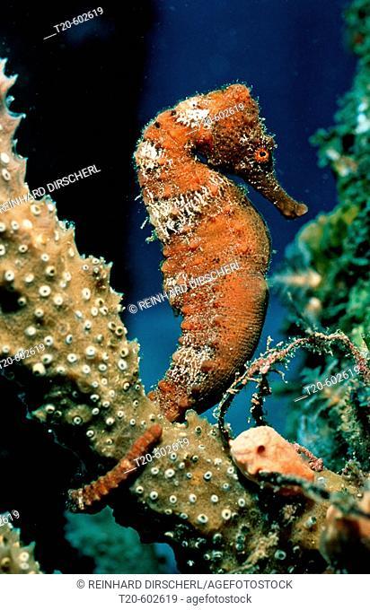 Longsnout Seahorse, Hippocampus reidi, Caribbean Dutch West Indies Island of Saba, Caribbean Sea