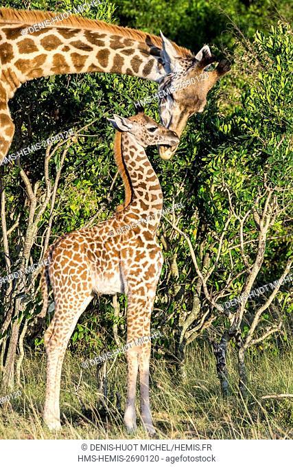 Kenya, Masai-Mara Game Reserve, Girafe masai (Giraffa camelopardalis), female and its baby