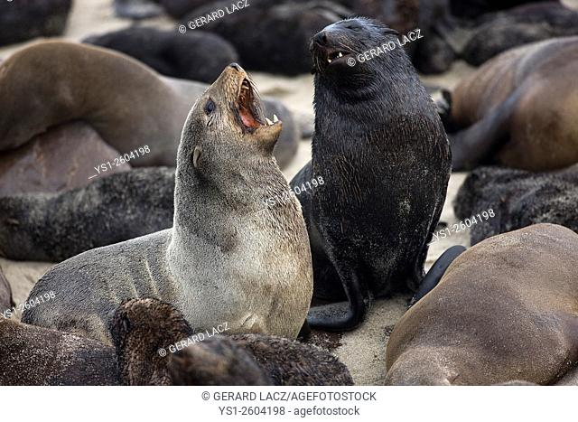 South African Fur Seal, arctocephalus pusillus, Females at Cape Cross in Namibia