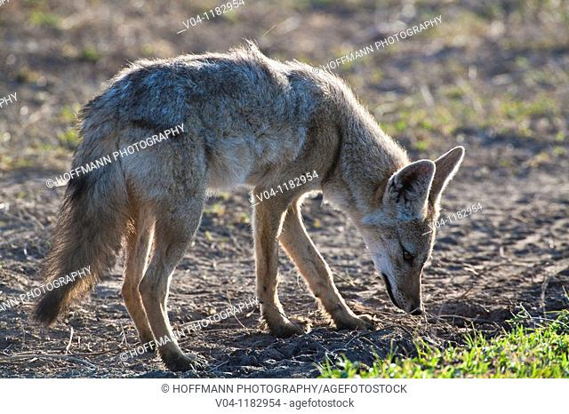 A common jackal (Canis aureus) in the Serengeti National Park in Tanzania, Africa