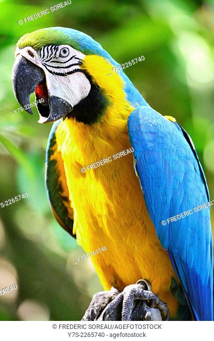 Blue macaw in Bali Bird Park, Indonesia, South East Asia