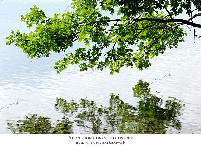 Maple tree overhanging shoreline of Kagawong Lake